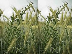 blé et ivraie